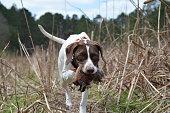 Quail Hunting South GA