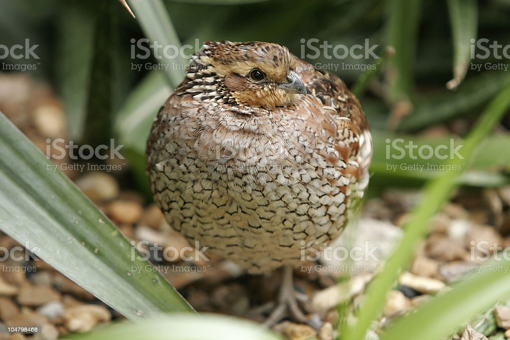 Quail royalty-free stock photo