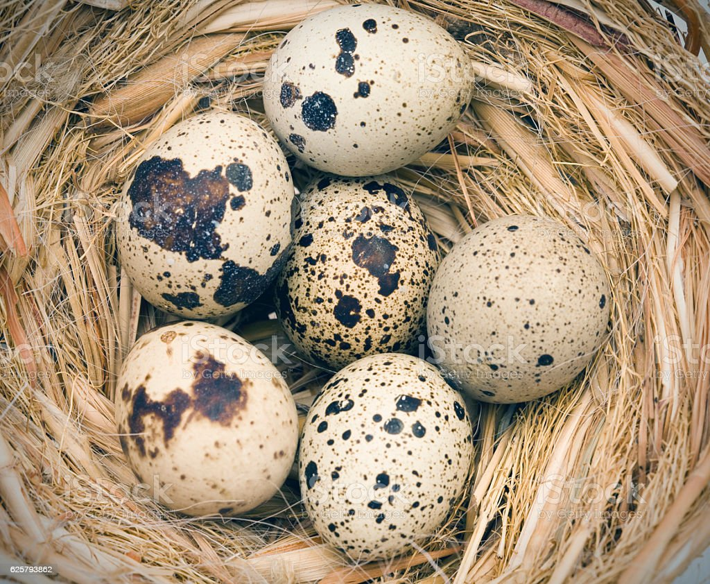 Quail spotted eggs in nest stock photo