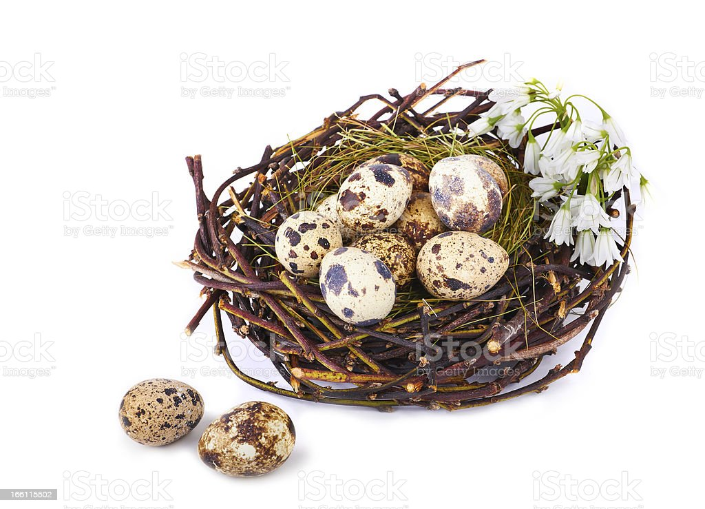 Quails Eggs  in a nest isolated royalty-free stock photo