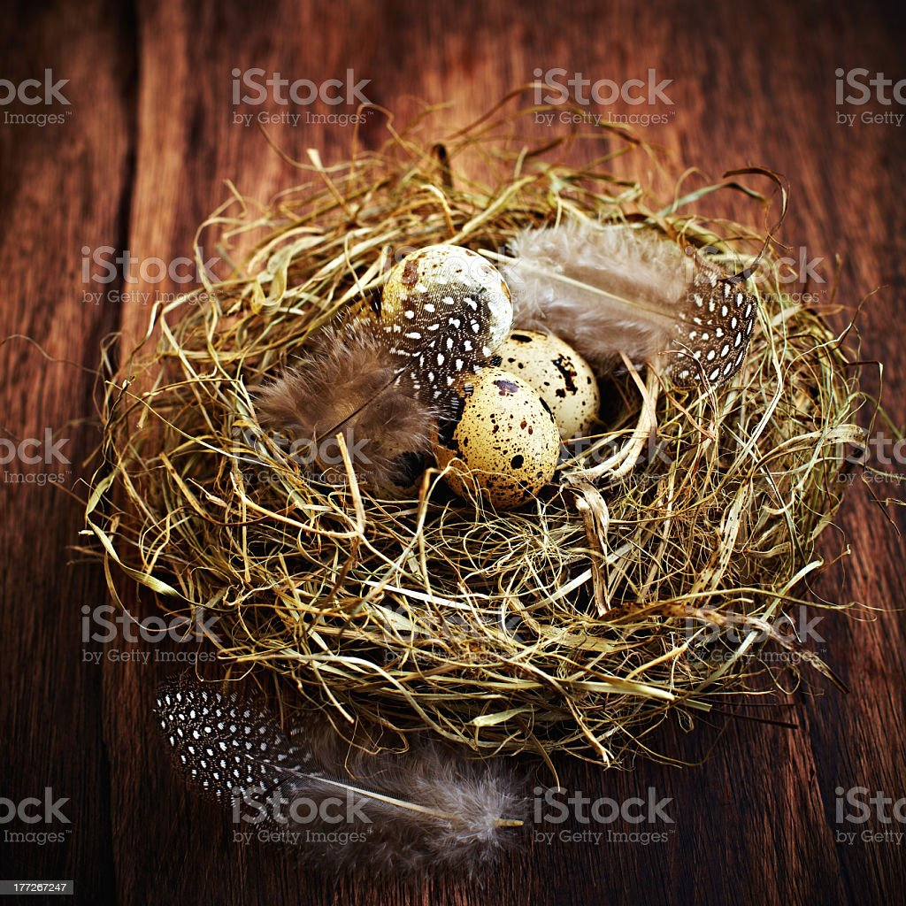 Quail's Eggs in a Nest royalty-free stock photo