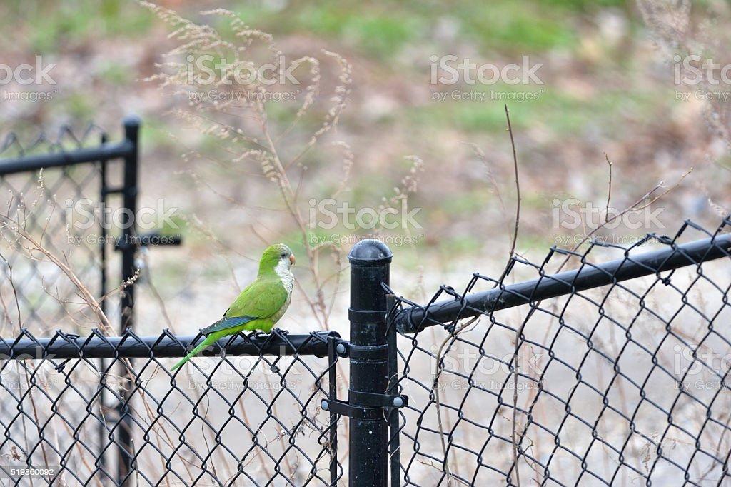 Quaker parrot stock photo