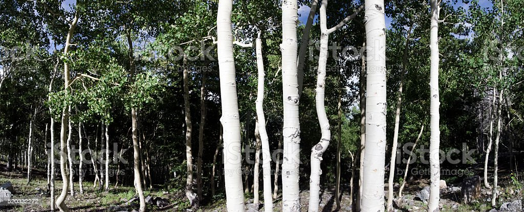 Quaking Aspens stock photo