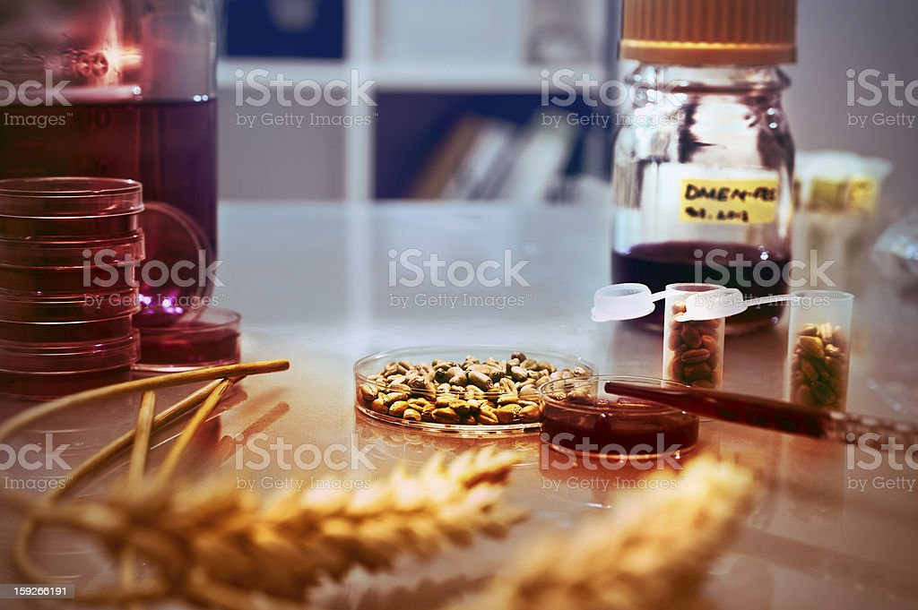 Quality control of wheat in the lab, aged photo royalty-free stock photo