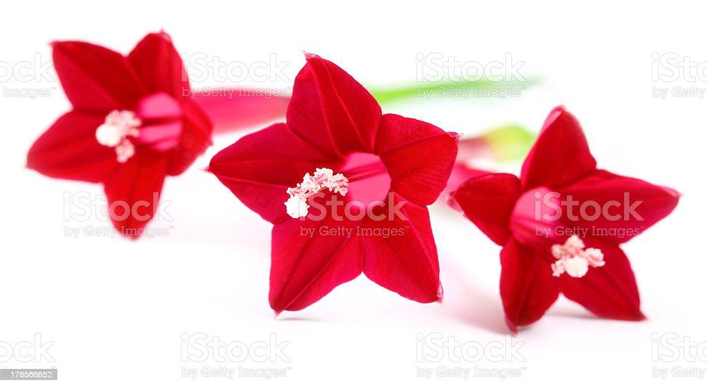 Quamoclit pennata or Tarulata flower stock photo