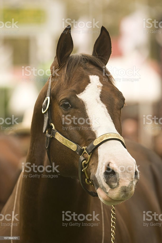 Quarter Horse Head Portrait stock photo