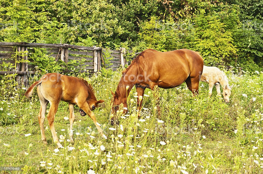 Quarter Horse mare with foal and a palomino royalty-free stock photo