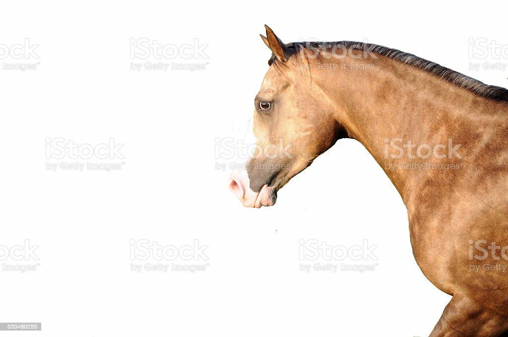 Quarter Horse Pferdekopf stock photo