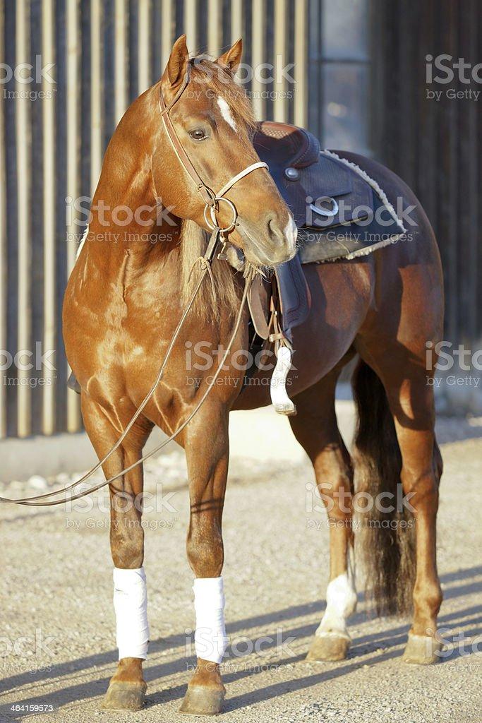 Quarter Horse ready to go stock photo