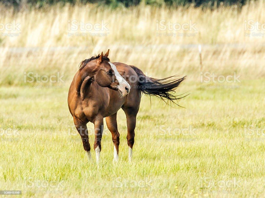 Quater Horse stock photo