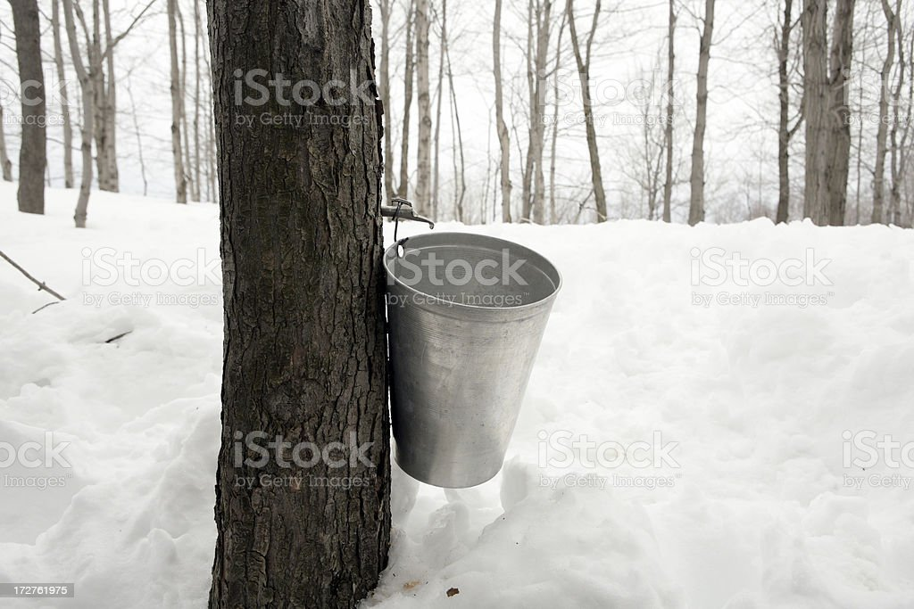 Quebec Canada maple syrup sap collecting bucket on a tree stock photo