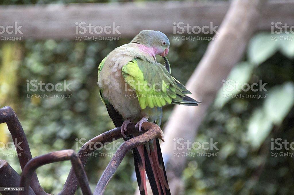 Queen Alexandra parrot stock photo
