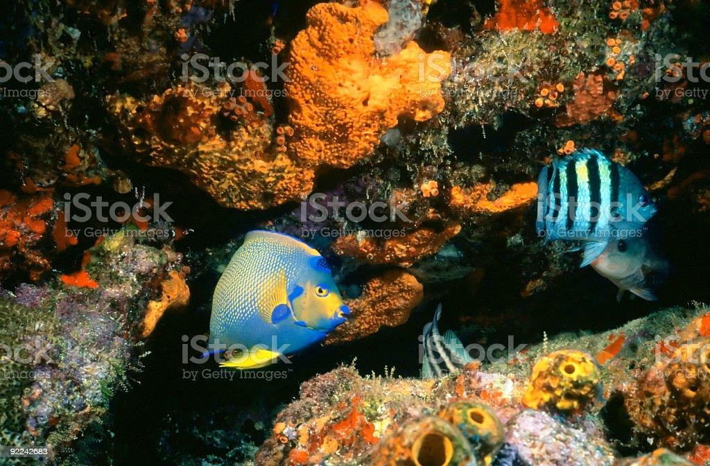 Un grand récif de l'ange photo libre de droits