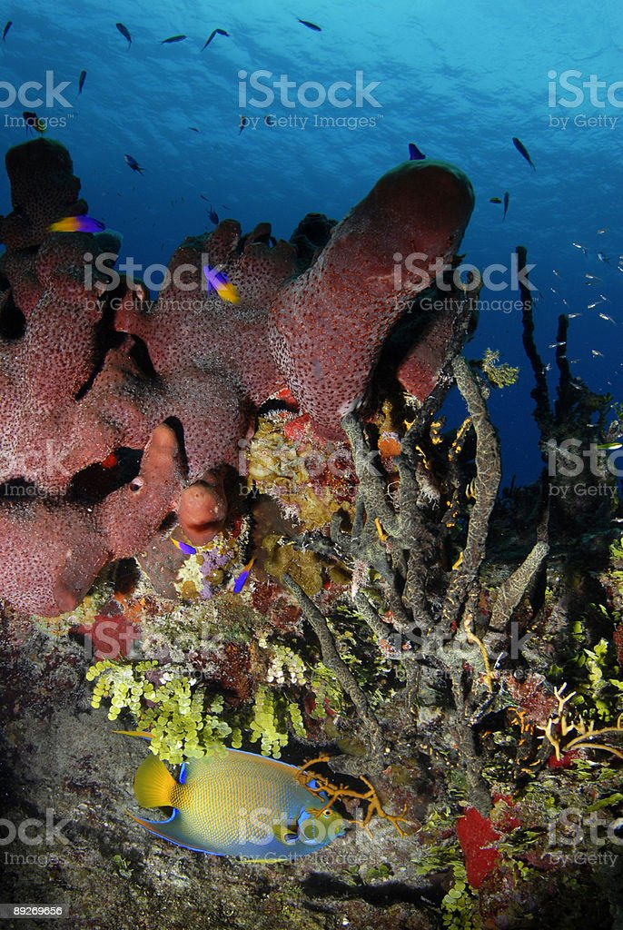 Queen Angelfish in Coral royalty-free stock photo