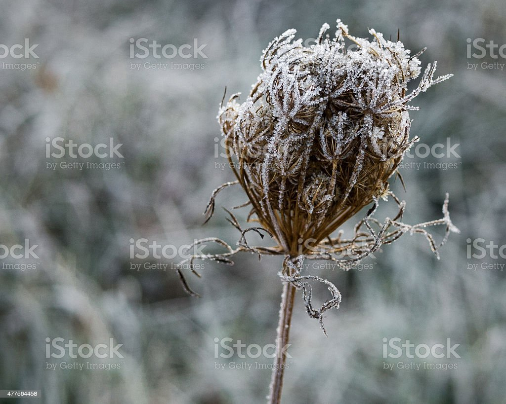 Queen Anne Got Her Lace Back stock photo