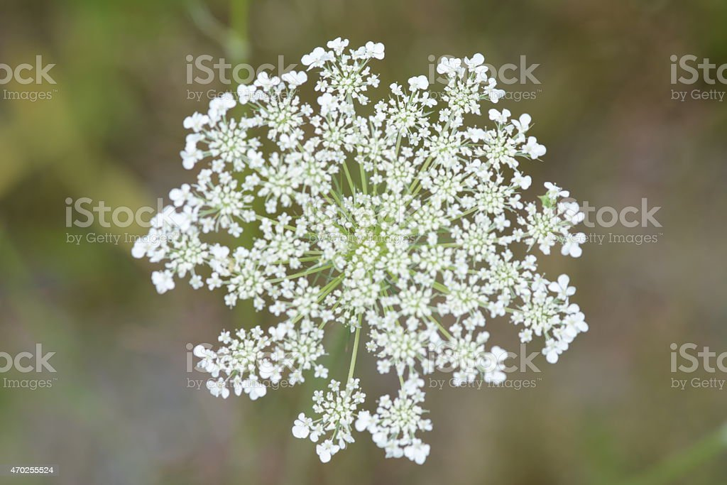 queen anne lace flower large. stock photo