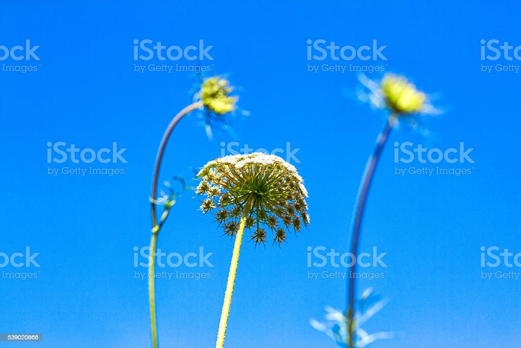 Queen Anne's Lace Against Brilliant Blue Sky stock photo