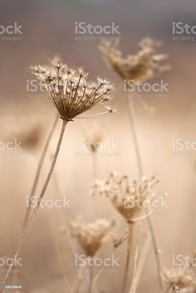 Queen Anne's Lace at fall royalty-free stock photo