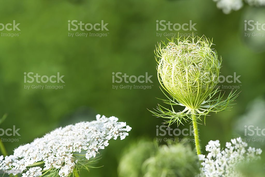 Queen Anne's Lace closed umbrel stock photo