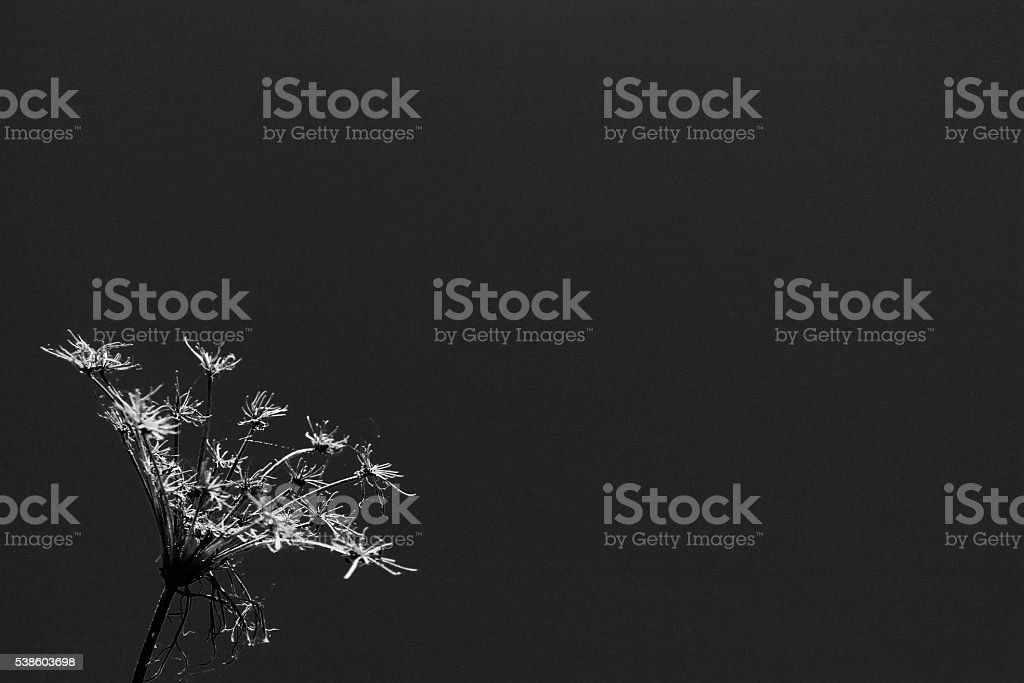 Queen Anne's Lace Copy Space - Noir stock photo