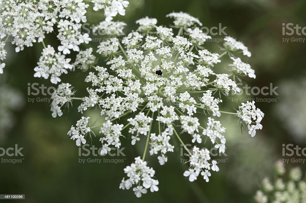 Queen Anne's Lace, Daucus carota or Wild Carrot stock photo