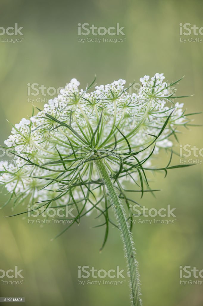 Queen Anne's Lace Flower Facing Away Dreamy Selective Focus stock photo