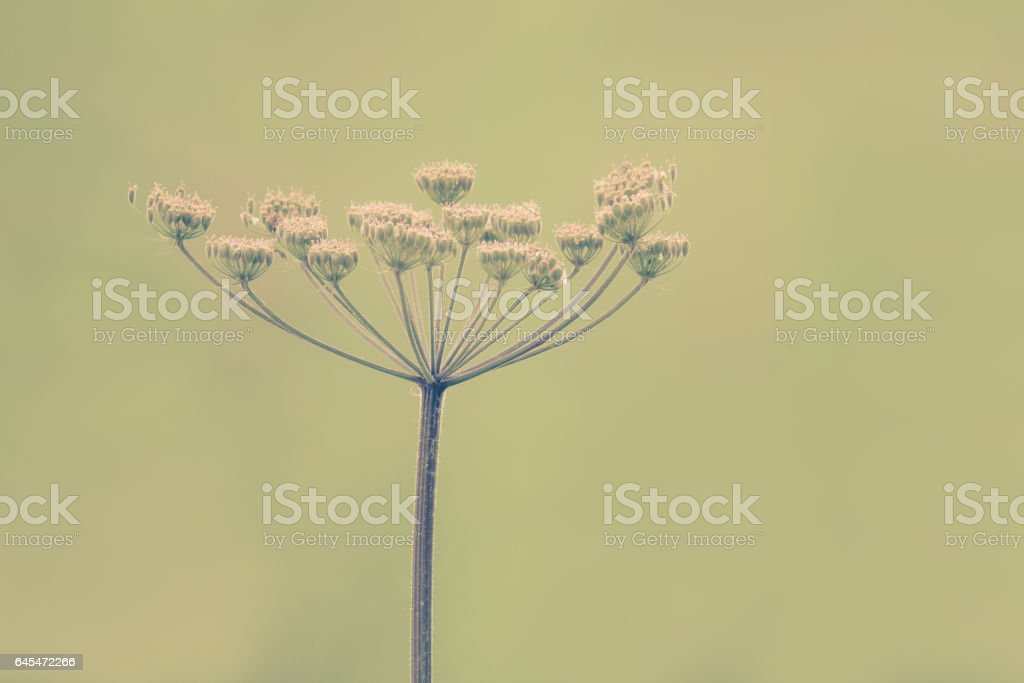 Queen Anne's lace flower stock photo