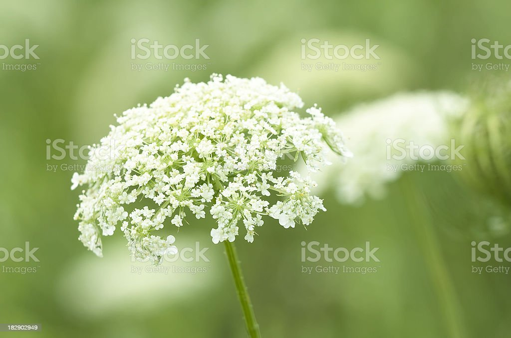 Queen Anne's Lace in Field of Flowers stock photo