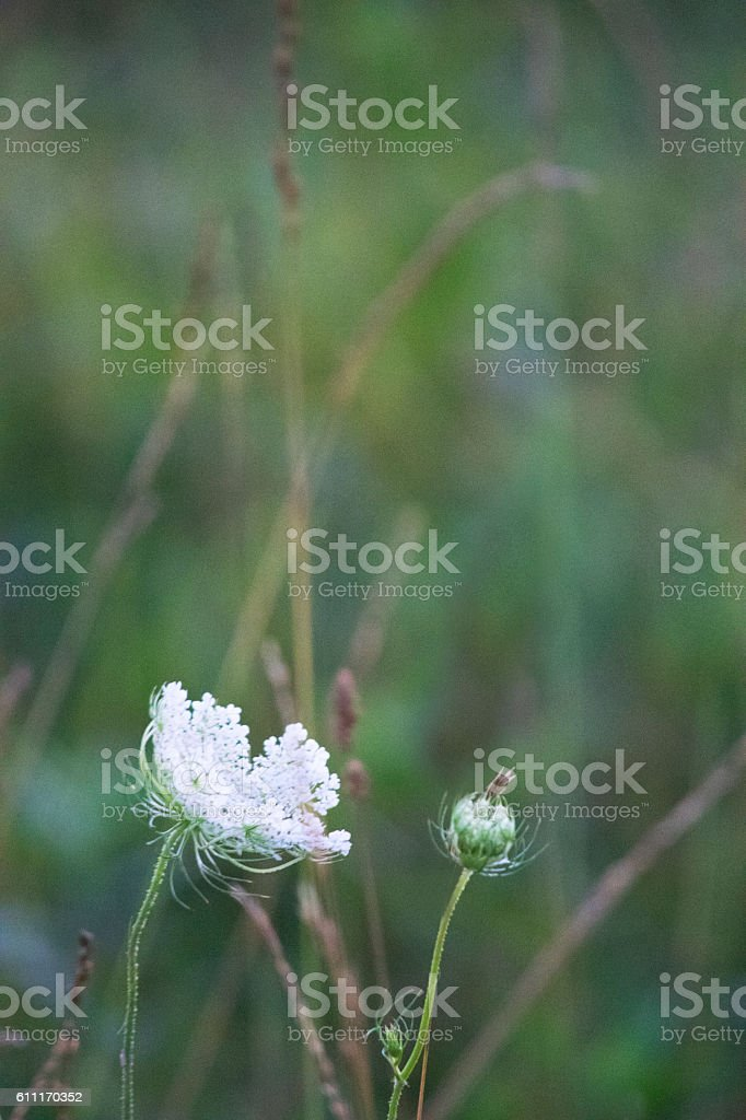 Queen Anne's Lace in soft focus stock photo