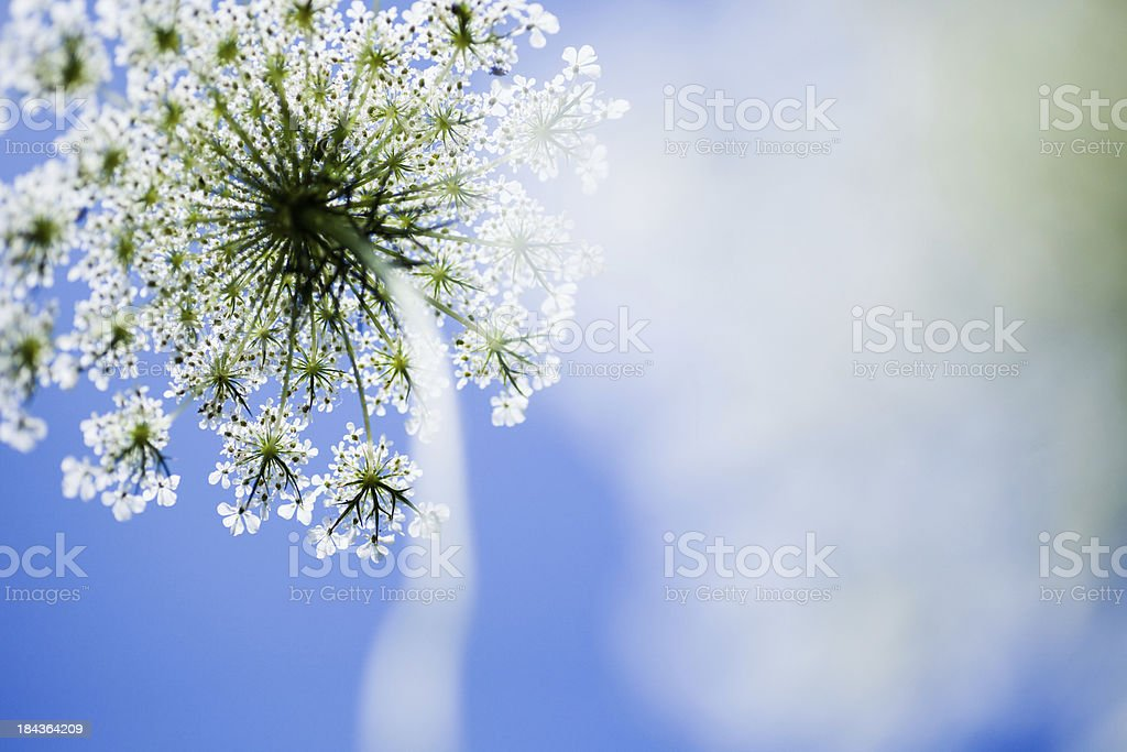 Queen Anne's lace in sunlight stock photo