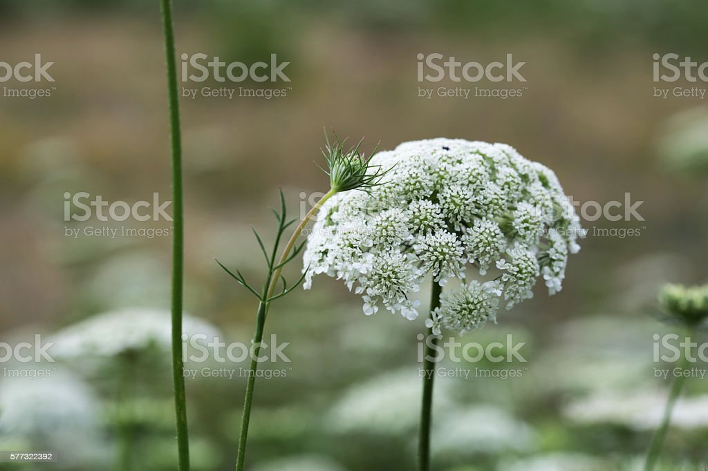 Queen Anne's Lace in the Meadow, Summer Wildflower stock photo