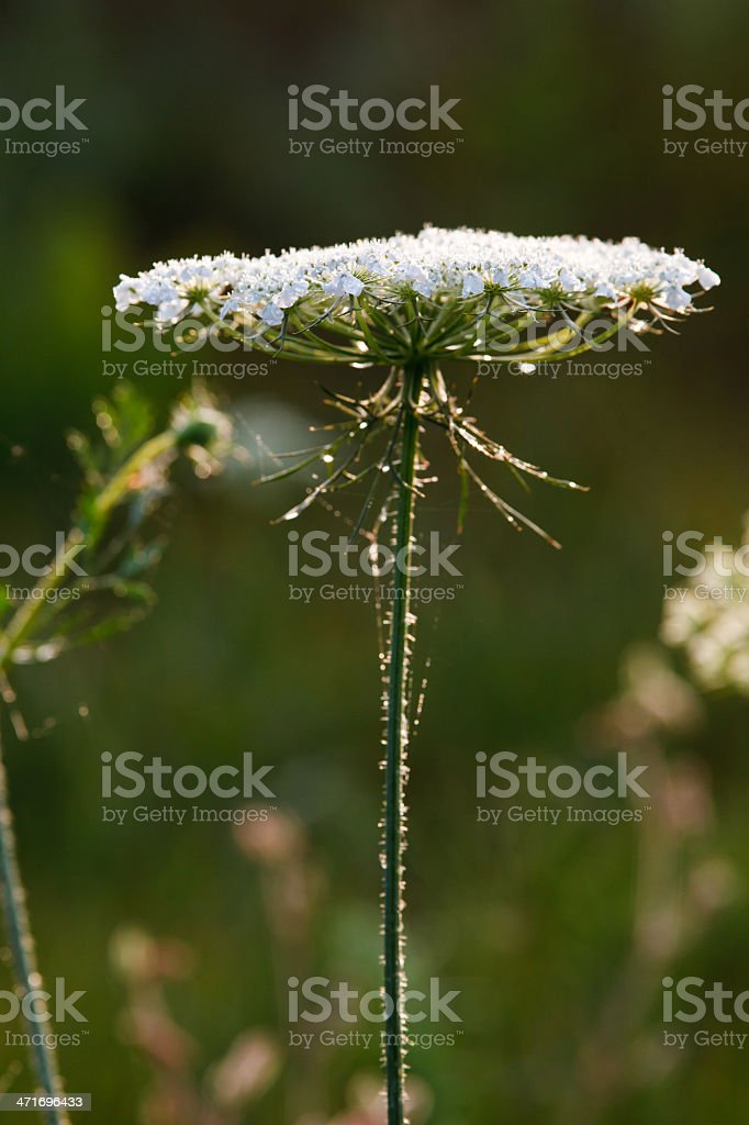 Queen Anne's Lace in the morning sun rays stock photo