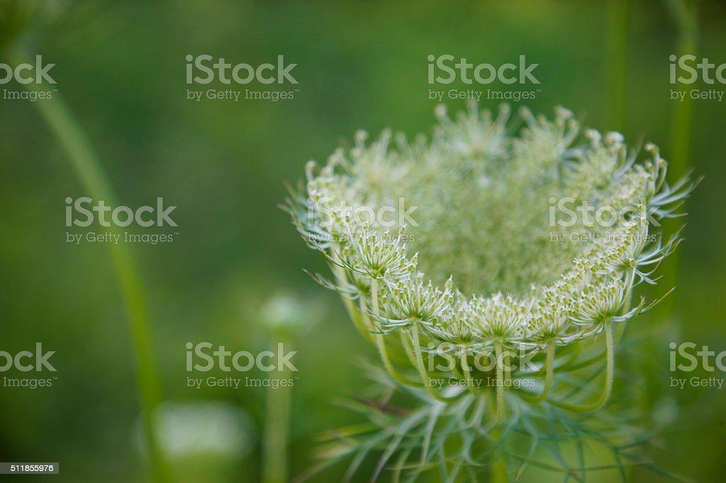 Queen Anne's lace or wild carrot plant stock photo