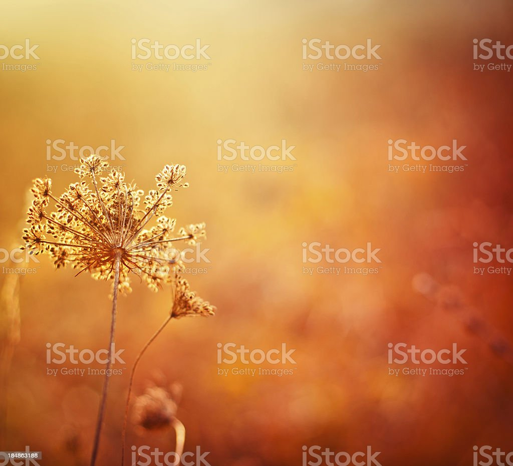 Queen Annes Lace royalty-free stock photo