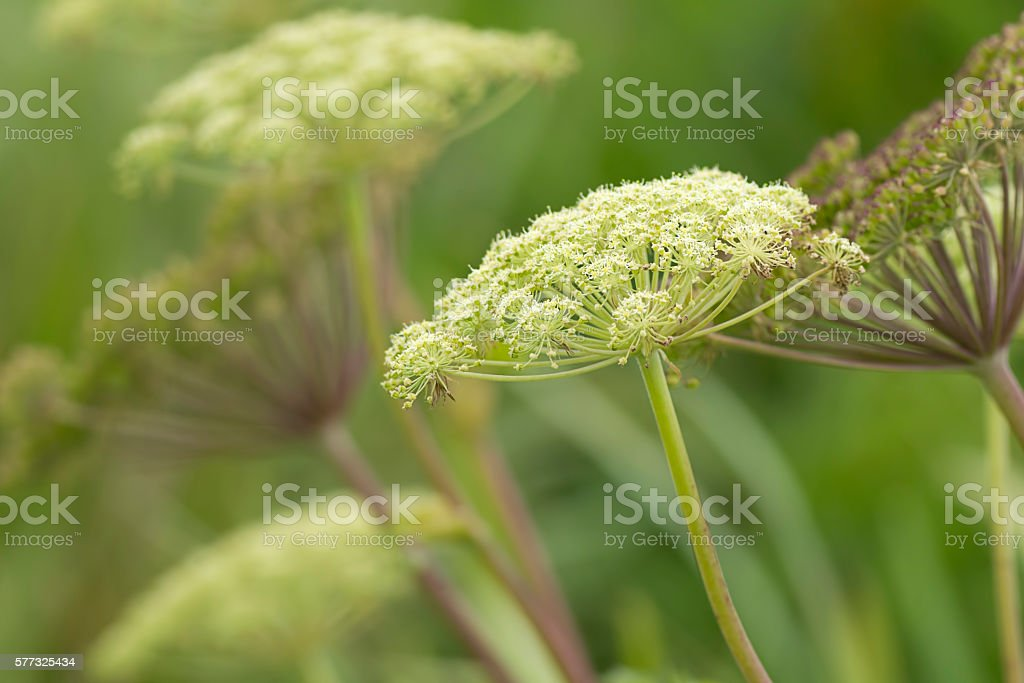 Queen Anne's lace. stock photo