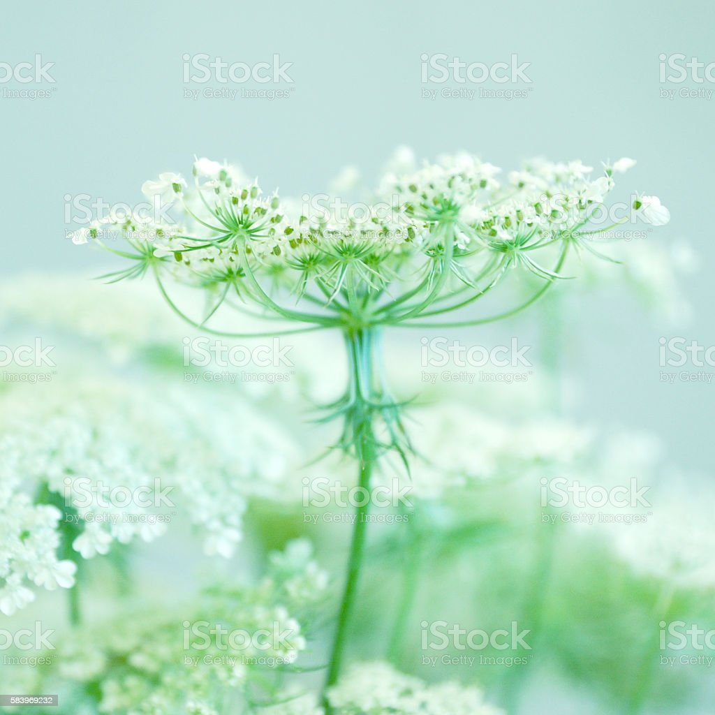 Queen Annes Lace stock photo