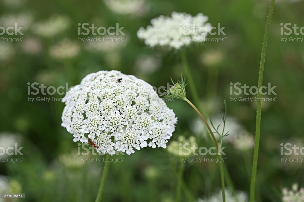 Queen Anne's Lace, Summer Wildflowers in Canada stock photo