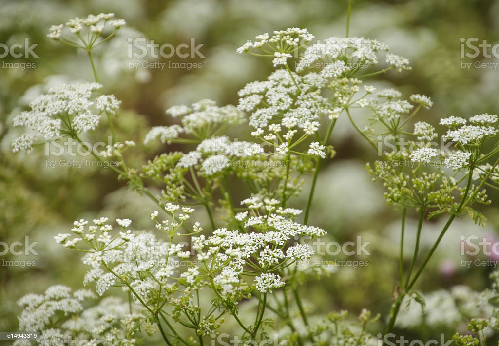 Queen Anne's Lace, White Flower stock photo