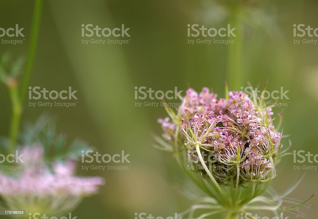 Queen Annes Lace, Wild Carrot (Daucus carota) Pink Seed Heads stock photo
