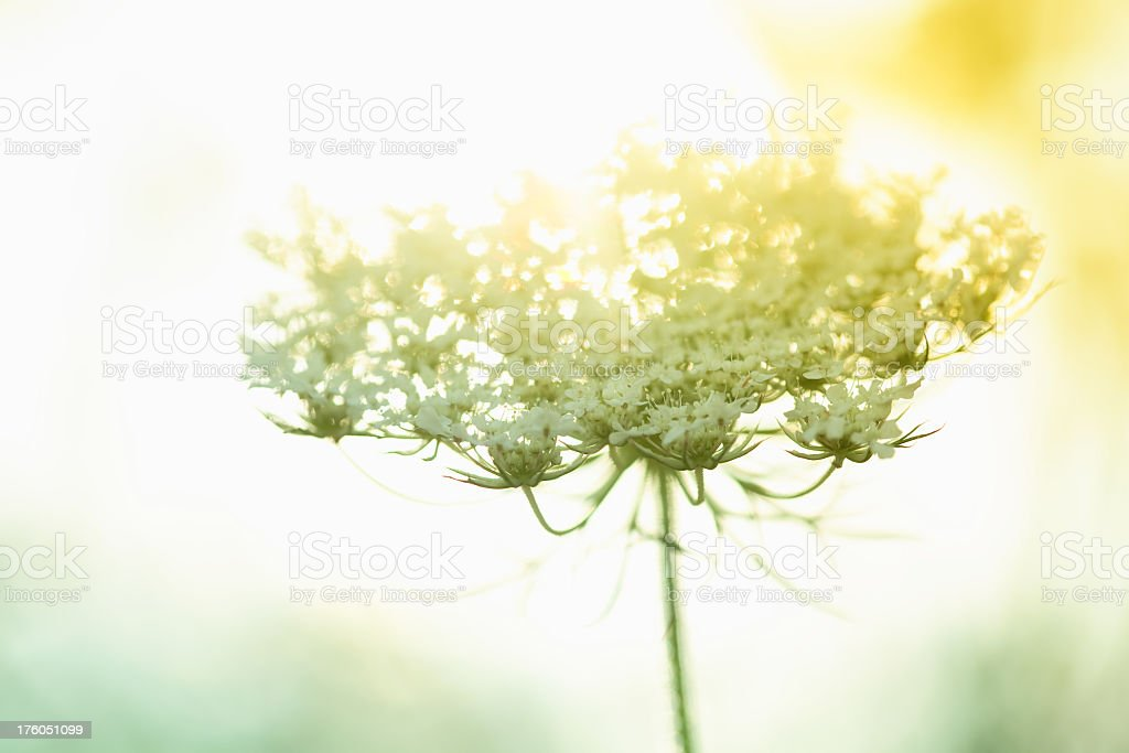 Queen Anne's Lace wildflower during sunrise stock photo