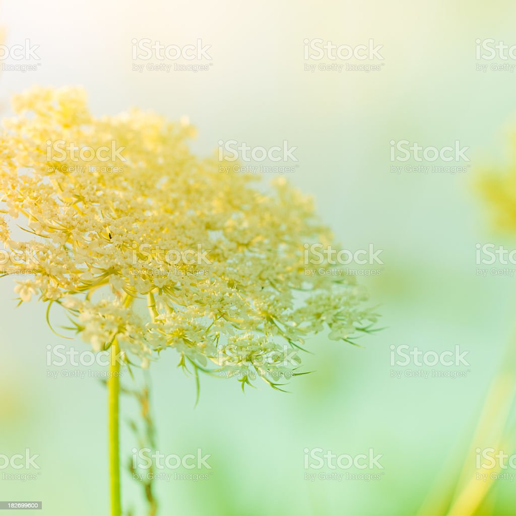 Queen Anne's Lace wildflower during sunrise royalty-free stock photo