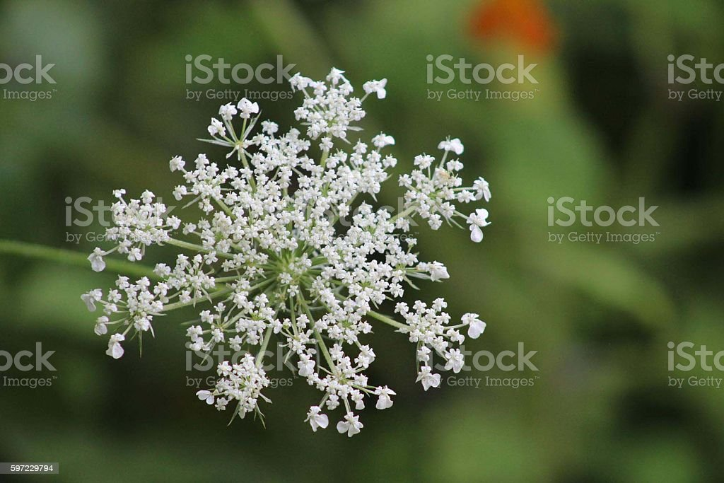 Queen Anne's Lace, Wildflower in Maine stock photo
