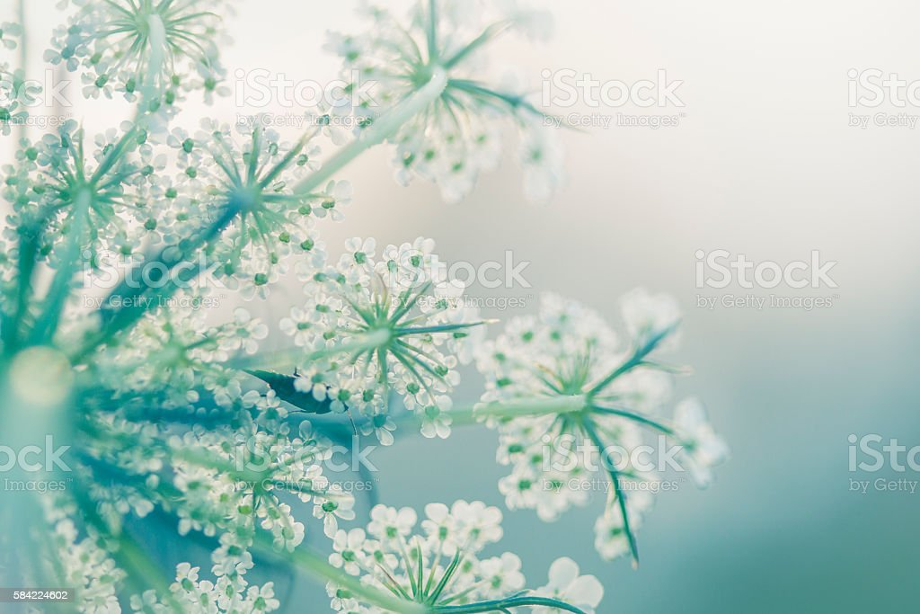 Queen Anne's lace with a bug stock photo