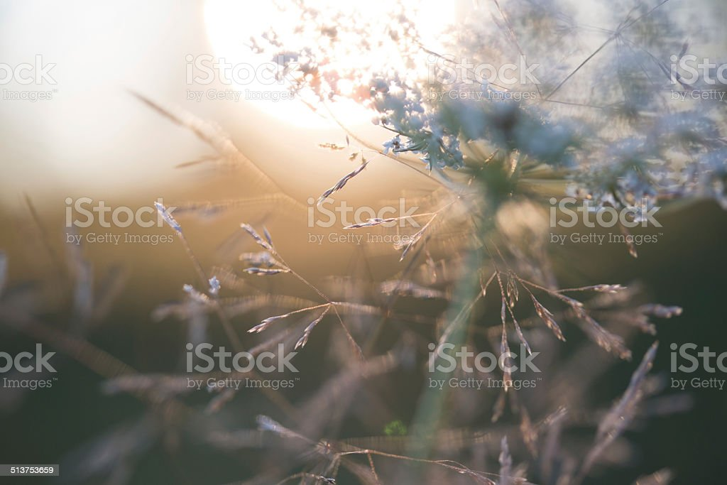 Queen Anne's lace with wildflowers stock photo