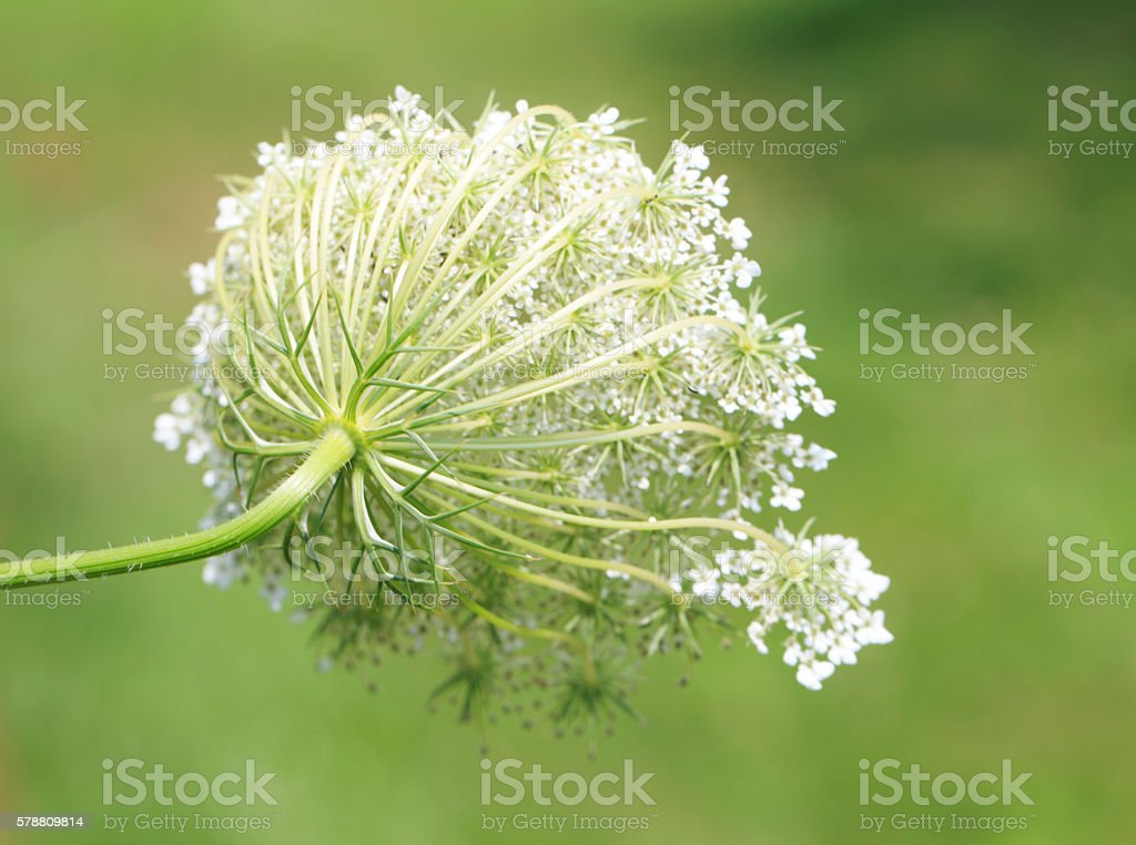 Queen Ann's Lace back stock photo