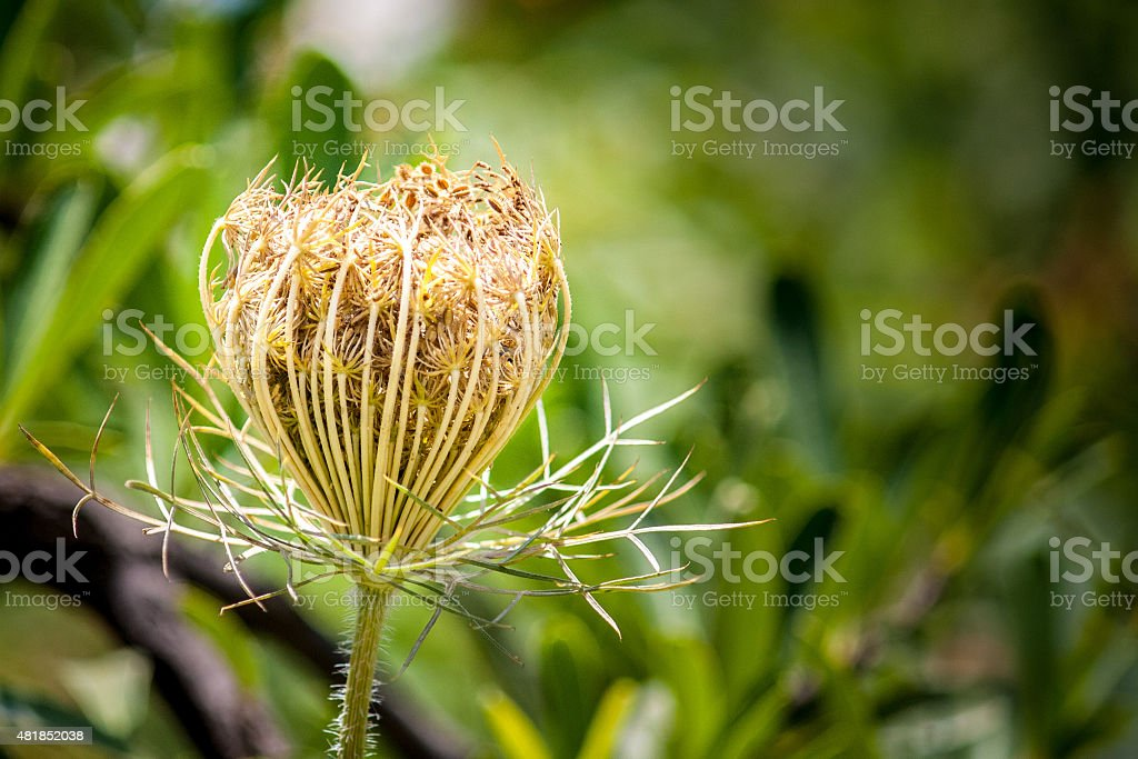 Queen Ann's Lace stock photo