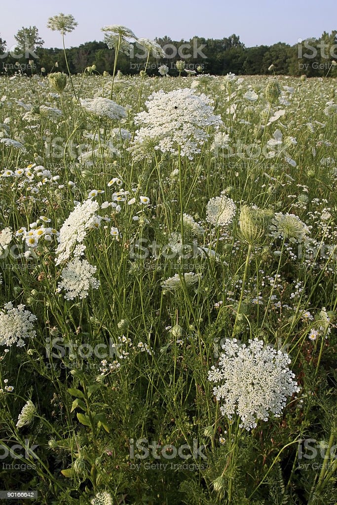 Queen Anns Lace stock photo
