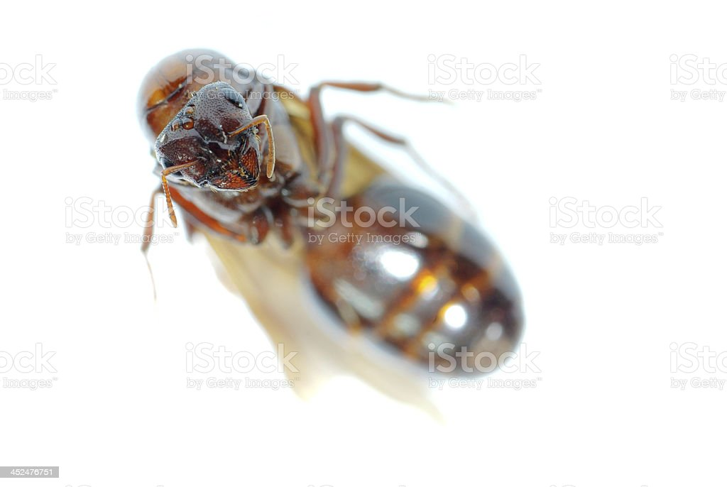 queen ant insect macro isolated royalty-free stock photo