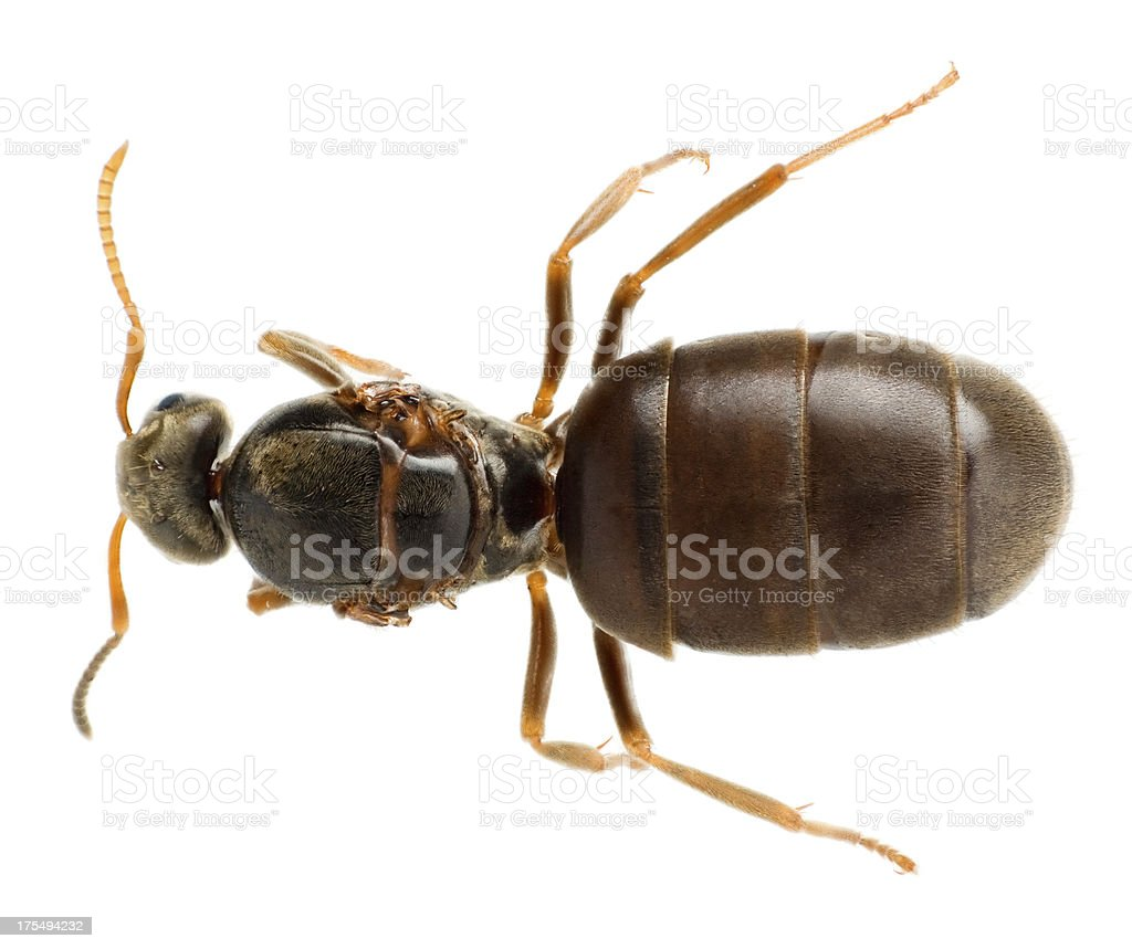 Queen ant stock photo