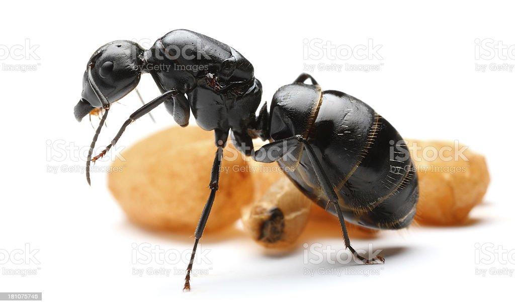Queen Ants C.vagus stock photo